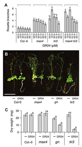 PLOS Biology: Strigolactone Can Promote or Inhibit Shoot Branching by Triggering Rapid Depletion of the Auxin Efflux Protein PIN1 from the Plasma Membrane | Emerging Research in Plant Cell Biology | Scoop.it