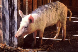 The Grounds offer reward for stolen pet pig and lamb | Animal Science | Scoop.it