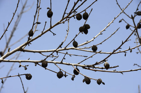 How Almonds Became A Scapegoat For California's Drought | Sustainable Futures | Scoop.it