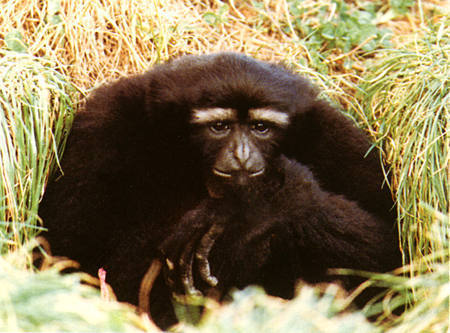Move to save hoolock gibbon from extinction | The Shillong Times | GarryRogers NatCon News | Scoop.it