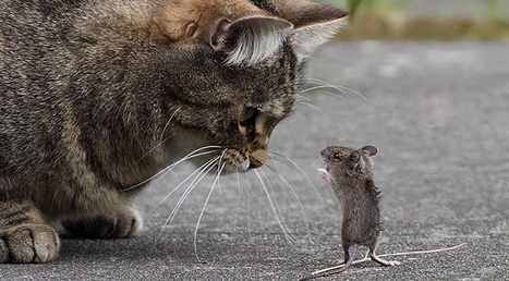 Por qué los ratones le tienen miedo a los gatos   KNOWING.............   Scoop.it