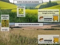 Les résidus de néonicotinoïdes dans les fleurs sauvages : une voie potentielle d'exposition chronique pour les abeilles | Toxique, soyons vigilant ! | Scoop.it