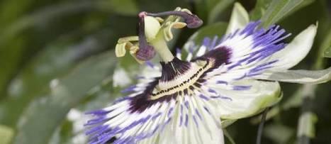 Soigner l'anxiété et l'angoisse avec la phytothérapie   Santé par les plantes   Scoop.it