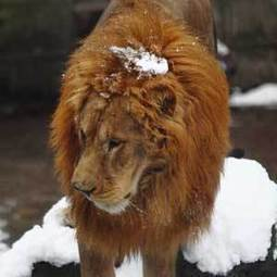 Worst of humanity throws snowballs at captive lions | Nature Animals humankind | Scoop.it
