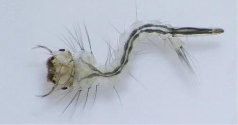 Un champignon tueur de moustiques | EntomoNews | Scoop.it