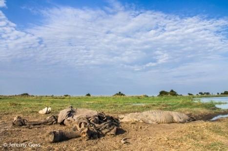 CSI African style: Dead elephant kills huge croc - Africa Geographic Magazine Blog | Australia & Europe & Africa | Scoop.it