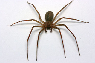 Brown recluse spider bites crawling upward | Sustain Our Earth | Scoop.it