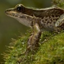 "HowStuffWorks ""Ear Rings, Sinking Eyes and Other Frog Anatomy"" 