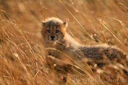Kruger Tours - Cheetah photo of the day by Save the Cheetah | Facebook | Kruger & African Wildlife | Scoop.it