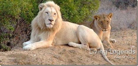 Los leones blancos de Timbavati en peligro de extinción vía @ConcienciaEco   Reflejos   Scoop.it