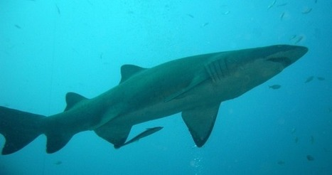 Shark fin soup is bad for the environment and your brain | Earth Island Institute Philippines | Scoop.it