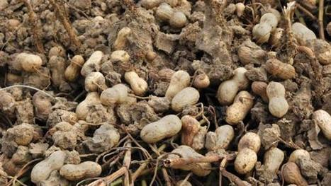 Taking guesswork out of determining peanut maturity - Southeast Farm Press | Peanuts, bioactive superfood in a shell | Scoop.it