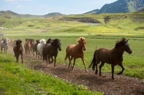 Viking horse breeders developed the 'ambling gait' | Gaia Diary | Scoop.it