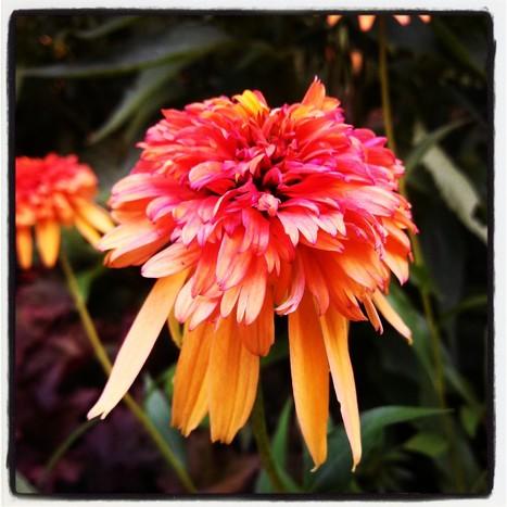 Plant Crush: 'Marmalade' Coneflower | Everyday Gardeners | Annie Haven | Haven Brand | Scoop.it