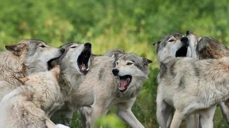 Abattre des loups fait augmenter les attaques