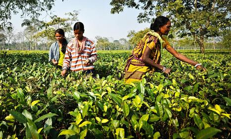 The tea pickers sold into slavery | Agricultural Biodiversity | Scoop.it