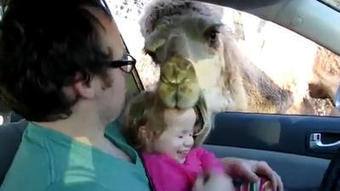 Camel tries to eat little girl | Just for fun and entertainment | Scoop.it