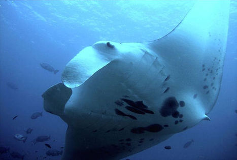 Reef Manta Ray | Scuba Diving Adventures | Scoop.it