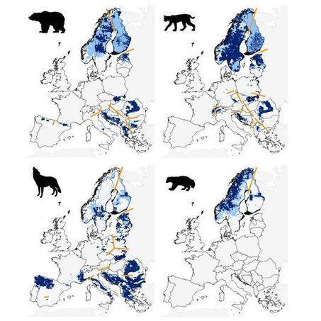 Les grands carnivores d'Europe reprennent du poil de la bête | Faire Territoire | Scoop.it