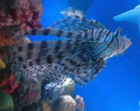 Lionfish invasion: An unabated siege of the Atlantic | GarryRogers Biosphere News | Scoop.it