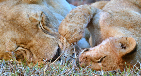 Africa's Imperiled Wild Lions Don't Need Petting and Walking Operations/Africa's Imperiled Wild Lions Don't Need Petting and Walking Operations | Human-Wildlife Conflict: Who Has the Right of Way? | Scoop.it
