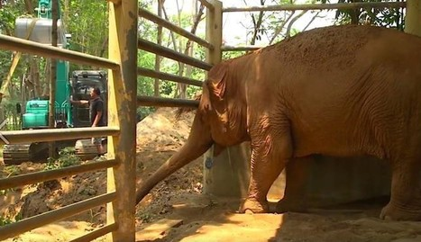 Blind Elephant Cries As She Says Goodbye To Her Oldest Friend | Nature Animals humankind | Scoop.it