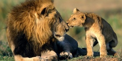 Can we stop the African lion slaughter? | school | Scoop.it