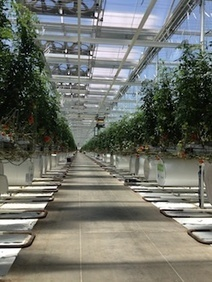 Indoor Grower with 262 Acres Under Glass Takes Hydroponic Greenhouse Growing to 21st Century Levels | Maverly Lands | Scoop.it