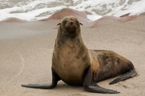 Seals Have Closest-Related Virus to Hepatitis A | Virology News | Scoop.it
