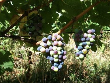 Vendanges 2012 : paroles de vignerons - La Pipette aux quatre vins | The Blog's Revue by OlivierSC | Scoop.it
