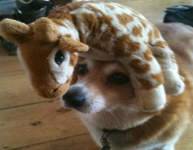 Corgis Balancing Stuff On Their Heads Makes Me Laugh | Dogs | Scoop.it