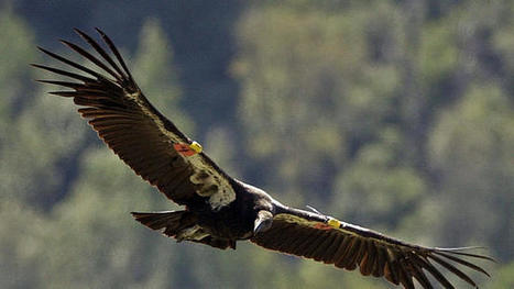 California condors rise from the brink of extinction | Conservation Success | Scoop.it