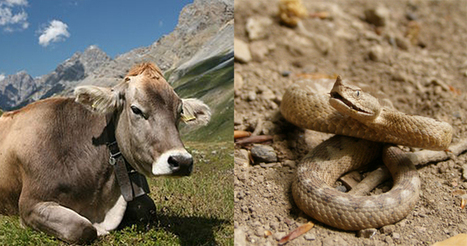 How a quarter of the cow genome came from snakes – Phenomena: Not Exactly Rocket Science | Genetic engineering and Human genetics, background reading and resources for IB | Scoop.it
