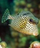 The BoxfishGrabbers | Indigo Scuba | Scoop.it