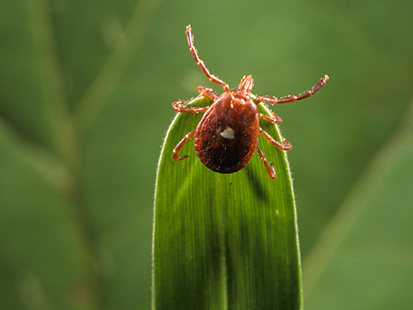 Lone Star Tick Eyed in Meat Allergies | Food issues | Scoop.it