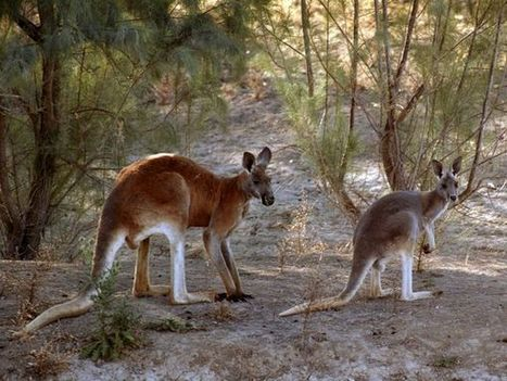 Red Kangaroos, Red Kangaroo Pictures, Red Kangaroo Facts - National Geographic | Red Kangaroos | Scoop.it