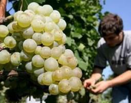 El Universal - Ciencia - Investigan efectos del cambio climático en el vino | Uso inteligente de las herramientas TIC | Scoop.it