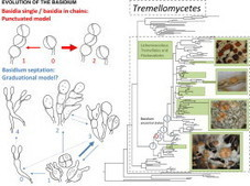 Phylogeny and character evolution in the jelly fungi (Tremellomycetes, Basidiomycota, Fungi) | Lichen systematics | Scoop.it