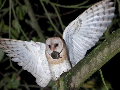Save our Barn owls! | British wildlife | Scoop.it