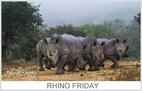 Rhino Friday - Where are Donations to Save Rhino going?   What's Happening to Africa's Rhino?   Scoop.it