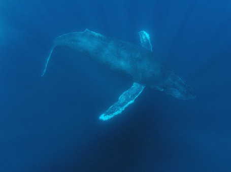 Underwater Noise Disturbs Whales 120 Miles Away | Earth Island Institute Philippines | Scoop.it