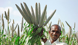 More nutritious pearl millet against iron deficiency | Erba Volant - Applied Plant Science | Scoop.it