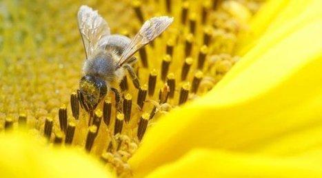 Les abeilles aussi prennent du café, cela améliore leur mémoire ! | Chroniques d'antan et d'ailleurs | Scoop.it