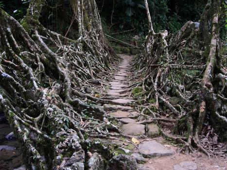 Living Root Bridges | MSustainability | Scoop.it