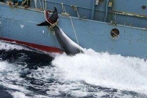 Minke whale 'harpooned in Australian waters' - ABC News (Australian Broadcasting Corporation) | Australian environment | Scoop.it