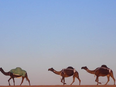 FIRST GM CAMELS TO BE ENGINEERED FOR DRUG PRODUCTION | YOUR FOOD, YOUR HEALTH: Latest on BiotechFood, GMOs, Pesticides, Chemicals, CAFOs, Industrial Food | Scoop.it