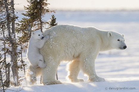 Photographer Waits 117 Hours in Subzero Temperatures to Capture First Glimpse of Polar Bear Cubs | Le It e Amo ✪ | Scoop.it
