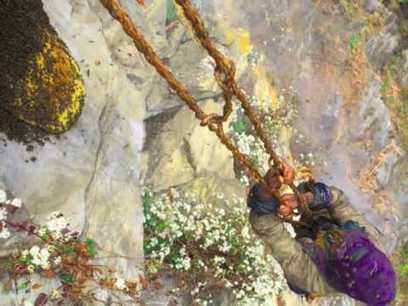 Népal, Récolte du miel des abeilles géantes. - YouTube | Abeilles, intoxications et informations | Scoop.it