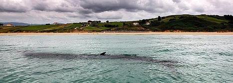 La ballena se ceba con parrocha y calamar. eldiariomontanes.es | MDV 2014 | Scoop.it