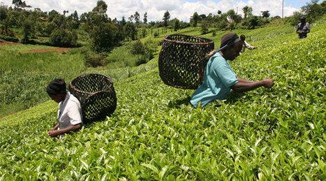 Tea growers alarmed over endless higher wage demands - Capital Business | Market information | Scoop.it